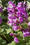 Stachys Macrantha photo