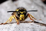 German yellow jacket wasp (Paravespula germanica) photo