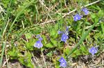 Germander Speedwell (Veronica chamaedrys) photo