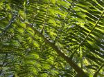 Giant Fern (Angiopteris evecta) photo