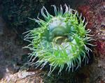 Giant Green Anemone (Anthopleura xanthogrammica) photo