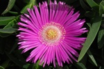 Giant pigface, Hottentot Fig (Carpobrotus acinaciformis) photo