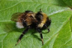 Gipsy Cuckoo-bee (Bombus bohemicus) photo