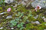 Glacier Crowfoot (Ranunculus glacialis) photo