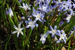 Glory-Of-The-Snows (Chionodoxa forbesii) photo