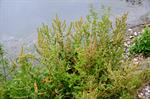 Golden Dock (Rumex maritimus) photo