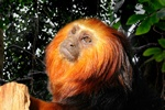 Golden-headed lion tamarin (Leontopithecus chrysomelas) photo