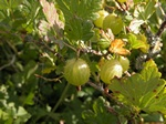 Gooseberry (Ribes uva-crispa) photo