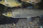 Grass carp, White amur (Ctenopharyngodon idella) photo