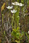 Grass-of-Parnassus (Parnassia palustris) photo