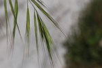 Great Brome (Anisantha diandra) photo