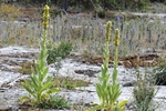 Great Mullein, Aaron´s Rod (Verbascum thapsus) photo