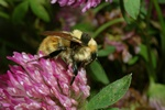 Great Yellow Bumblebee (Bombus distinguendus) photo