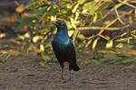 Greater Blue-eared Starling (Lamprotornis chalybaeus) photo
