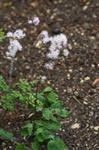 Greater Meadow-rue (Thalictrum aquilegifolium) photo