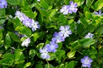 Greater Periwinkle (Vinca major) photo