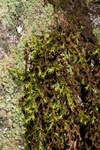 Green Mountain Fringe-moss (Racomitrium fasciculare) photo