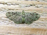 Green Pug (Rhinoprora rectangulata) photo