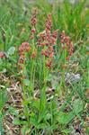 Green Sorrel (Rumex acetosa ssp. lapponicus) photo