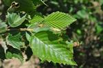 Grey Alder (Alnus incana) photo