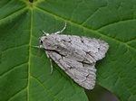 Grey Dagger (Acronicta psi) photo