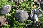 Grey Knight (Tricholoma terreum) photo