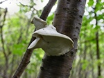 Greyling Bracket (Postia tephroleuca) photo