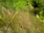 Hair Sedge (Carex capillaris) photo