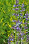Hairless Catmint (Nepeta nuda) photo