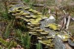 Hairy Bracket (Trametes hirsuta) photo