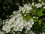 Hawthorn (Crataegus monogyna) photo