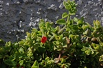 Heart-leaf Ice-plant (Aptenia cordifolia) photo