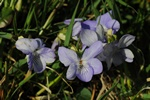 Heath Dog-Violet (Viola canina) photo