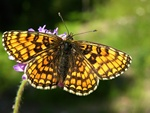 Heath Fritillary (Mellicta athalia) photo