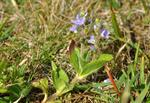 Heath Speedwell, Common Speedwell (Veronica officinalis) photo