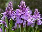 Heath Spotted Orchid (Dactylorhiza maculata ssp. maculata) photo