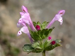 Henbit Deadnettle (Lamium amplexicaule) photo
