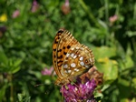 High Brown Fritillary (Argynnis adippe) photo