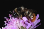 Hill Cuckoo-bee (Bombus rupestris) photo