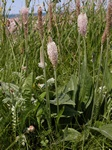 Hoary Plantain (Plantago media) photo