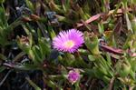 Hottentot Fig (Carpobrotus edulis) photo