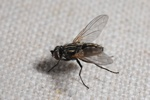 House fly (Musca domestica) photo