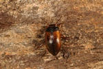 Hydroporus elongatulus photo