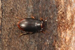 Hydroporus melanarius photo