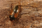 Hydroporus umbrosus photo
