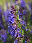 Hyssop (Hyssopus officinalis) photo