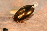 Ilybius chalconatus photo