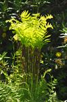 Interrupted fern (Osmunda claytoniana) photo