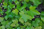 Irish Ivy (Hedera hibernicus) photo