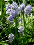 Italian Bluebell (Hyacinthoides italica) photo